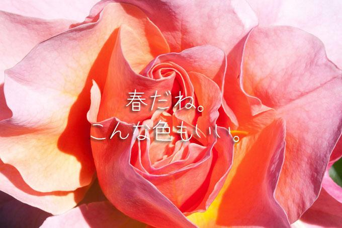 rose-364914_1280