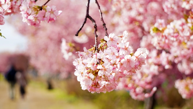 イメージ写真 桜